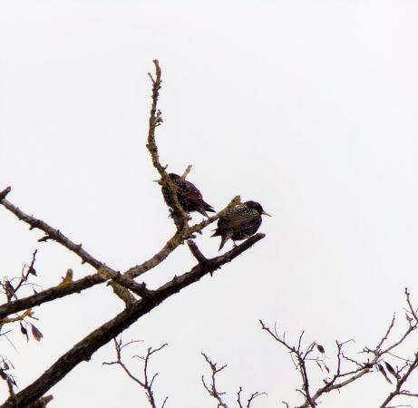 Common Starling  - Murielle Desrois