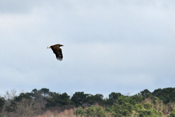 White-tailed Eagle  - Alain Dupuy