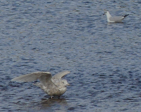 Glaucous Gull  - Didier Masson