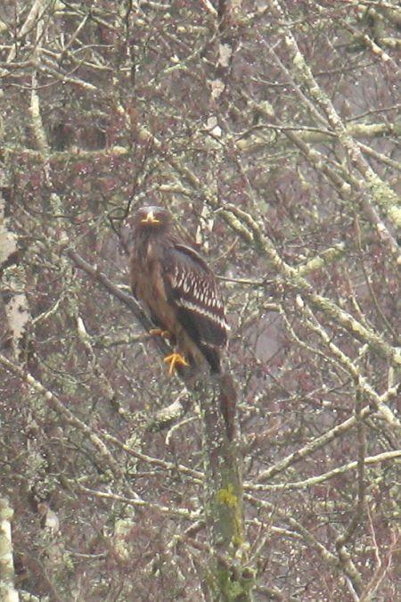 Greater Spotted Eagle  - Frédéric Cazaban