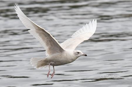 Iceland Gull  - Sylvain Tardy