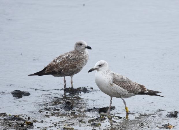 European Herring x Caspian Gull  - Etienne Legay