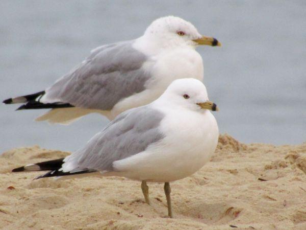 Ring-billed Gull  - Mathieu Taillade