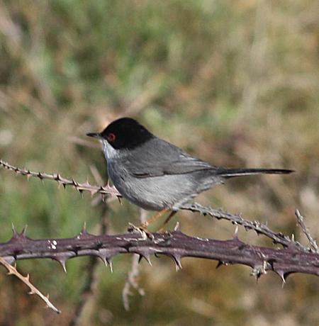 Sardinian Warbler  - Alain Naves