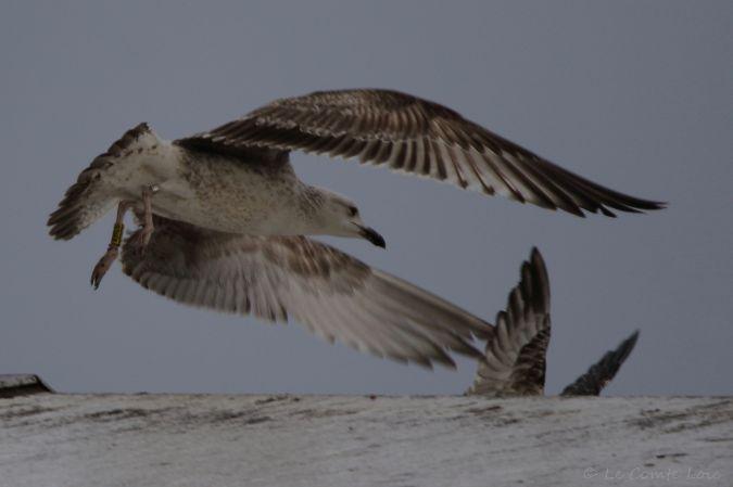 Caspian Gull  - Le Comte Loïc