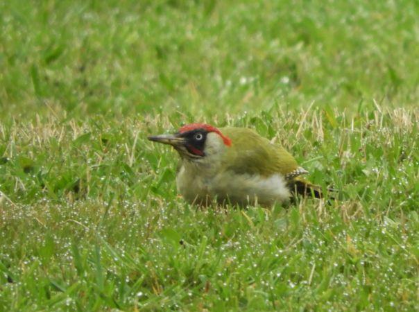European Green Woodpecker  - Alain Larrieu