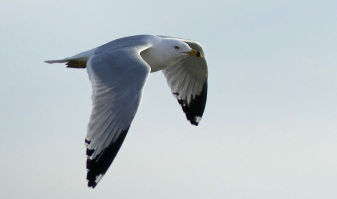 Ring-billed Gull  - Didier Masson