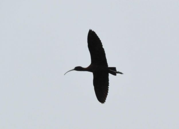 Glossy Ibis  - Mathieu Taillade