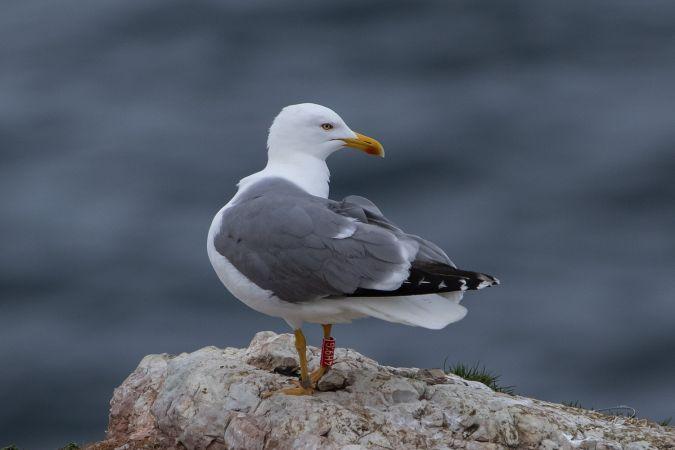Cantabric Yellow-legged Gull  - Dominique Marques