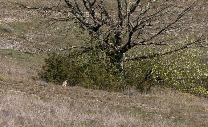Eurasian Stone-curlew  - Catherine Patron
