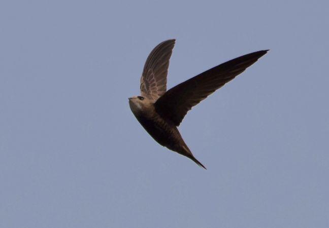 Pallid Swift  - Geoffroy Chabot