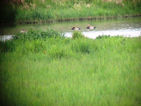 Red-crested Pochard  - Département de La Gironde Espaces Naturels Sensibles