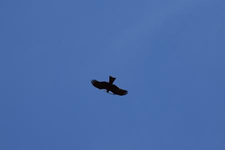 Black Kite  - Angèle Vigier Joussain