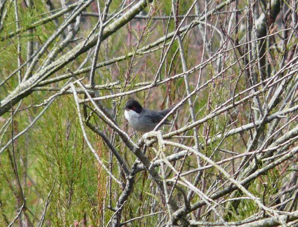Sardinian Warbler  - Alain Boeckx