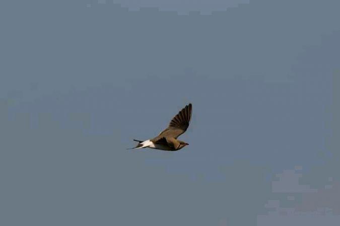 Collared Pratincole  - Le Teich Réserve Ornithologique-Pnrlg
