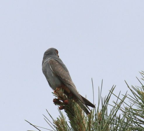 Red-footed Falcon  - Marie-Françoise Canevet