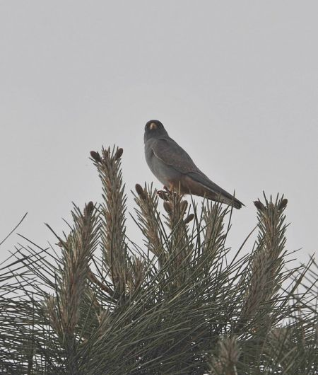 Red-footed Falcon  - Frank Jouandoudet