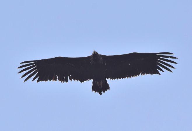 Eurasian Black Vulture  - Geoffroy Chabot