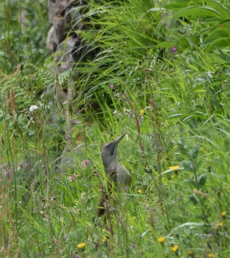 Iberian Woodpecker  - Geoffroy Chabot