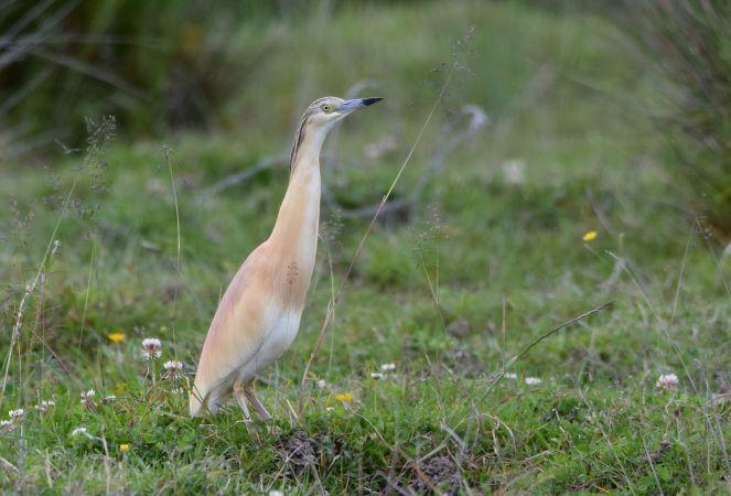 Squacco Heron  - Geoffroy Chabot
