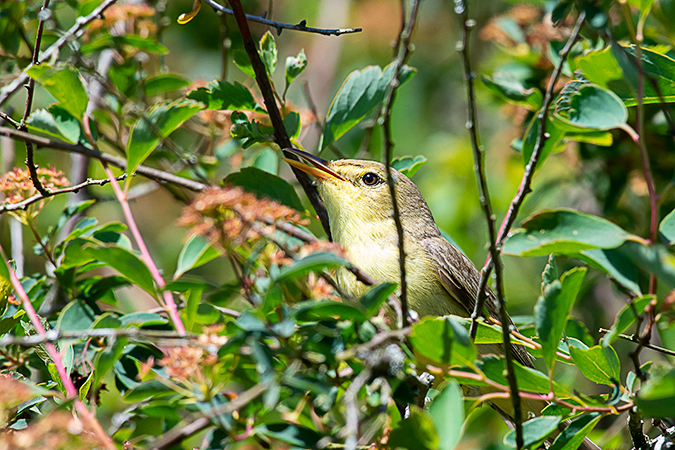 Melodious Warbler  - Alain Laborde