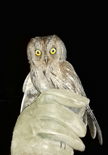 Eurasian Scops Owl  - Anonymous