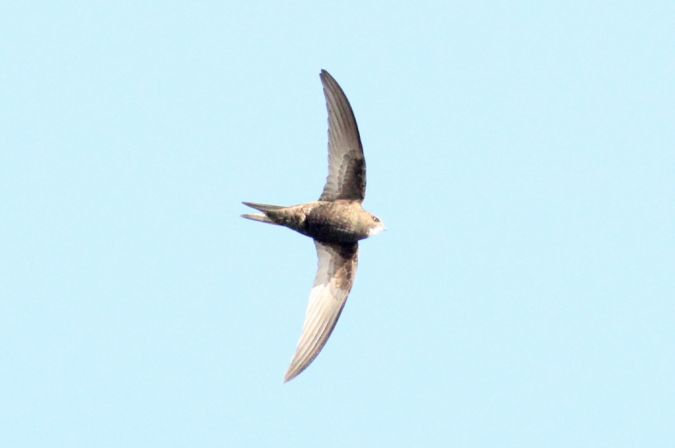 Pallid Swift  - Frédéric Cazaban