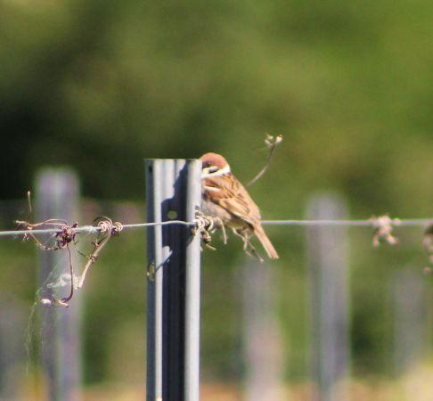 Eurasian Tree Sparrow  - Cassandre Murail