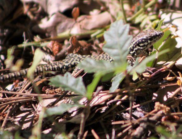Common Wall Lizard  - Cassandre Murail
