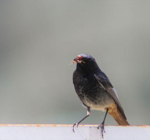 Black Redstart  - Cassandre M