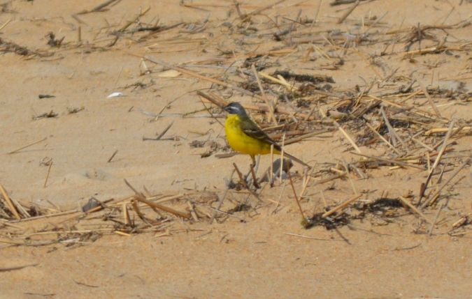 Western Yellow Wagtail (M.f.flava)  - Frédéric Dissard