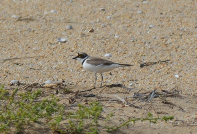 Little Ringed Plover  - Frédéric Dissard