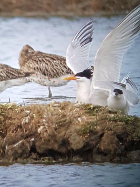 Charrán Elegante  - Le Teich  Réserve Ornithologique-PNRLG