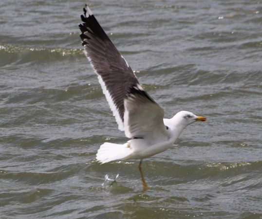 Lesser Black-backed Gull  - Bertrand Lamothe