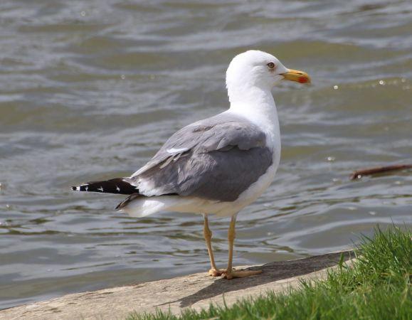 Yellow-legged Gull  - Bertrand Lamothe