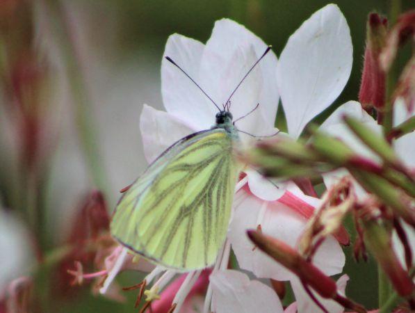 Green-veined White  - Cassandre M