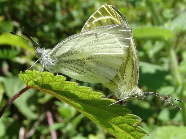 Green-veined White  - Jean-Valentin Dourthe