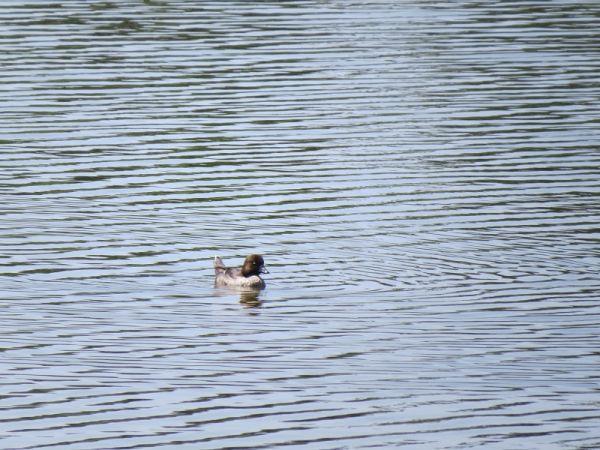 Porrón Osculado  - Le Teich Réserve Ornithologique-Pnrlg