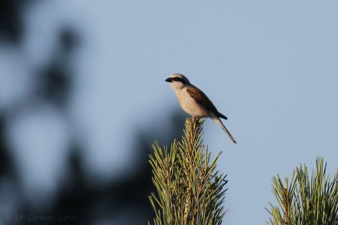 Red-backed Shrike  - Le Comte Loïc