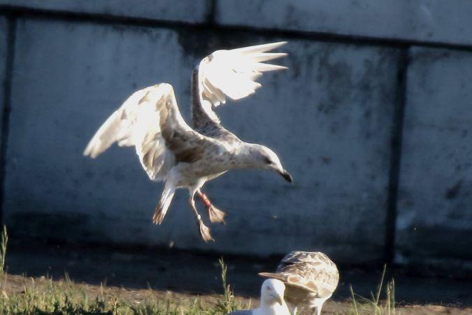 Cantabric Yellow-legged Gull  - Loïc Le Comte