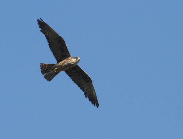 Eleonora's Falcon  - Alain Noel