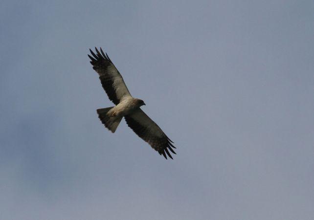 Booted Eagle  - Alain Noel