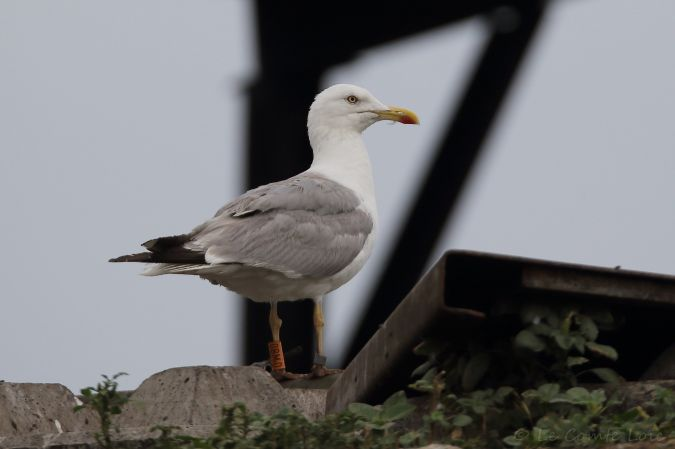 Cantabric Yellow-legged Gull  - Le Comte Loïc