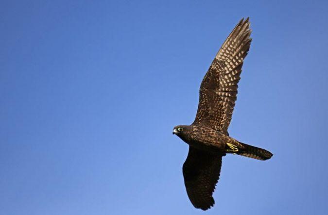 Eleonora's Falcon  - Bastien Boyance
