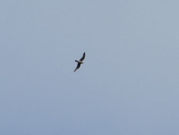 Eleonora's Falcon  - Emmanuel Dumain