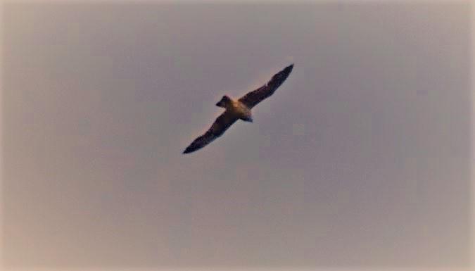 Eleonora's Falcon  - Vincent Bawedin