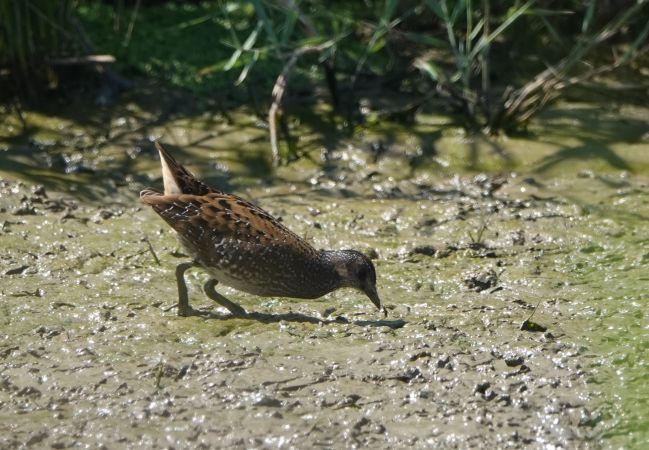Spotted Crake  - Département de La Gironde Espaces Naturels Sensibles