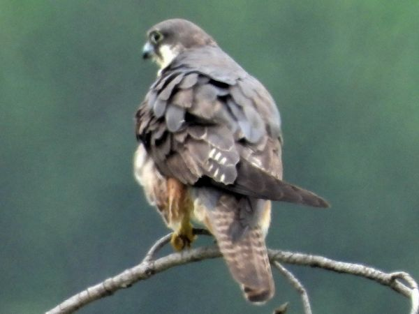 Eleonora's Falcon  - Didier Bats