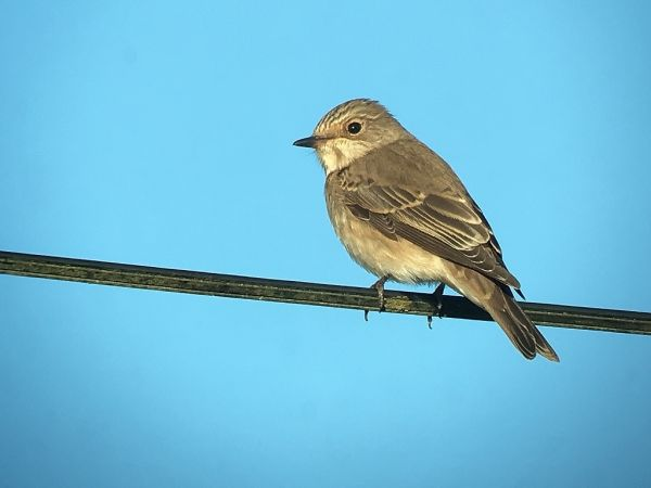 Spotted Flycatcher  - Jean-Claude Bonnet