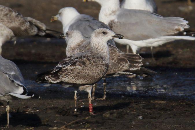 Cantabric Yellow-legged Gull  - Le Comte Loïc
